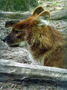 Rothund (Tierpark Berlin)