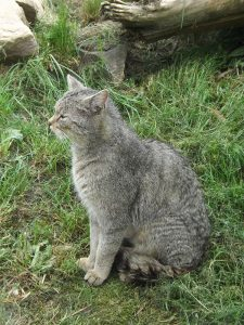 Europäische Wildkatze (Wildkatzendorf Hütscheroda)