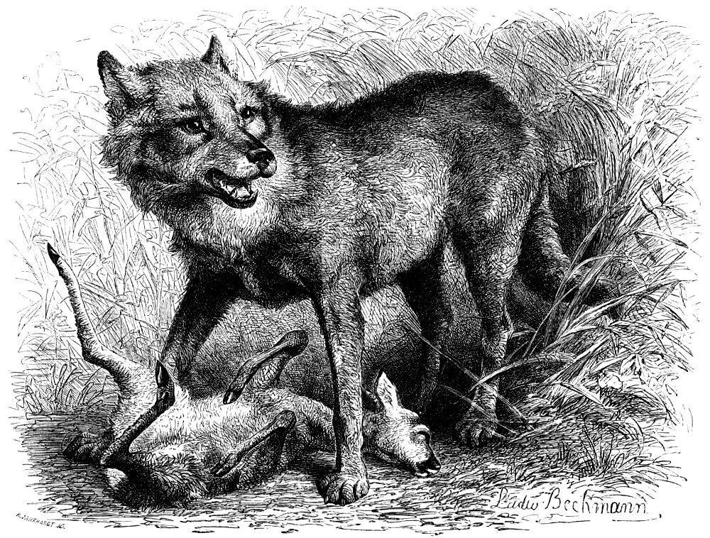 Wolf (Brehms Tierleben)