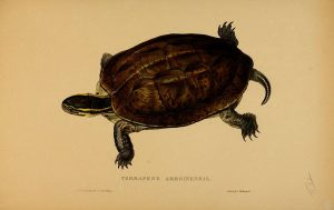 Amboina-Scharnierschildkröte (Tortoises, terrapins, and turtles London, Paris, and Frankfort :H. Sotheran, J. Baer & co.,1872)