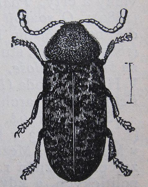 Gescheckter Nagekäfer (Ottův slovník naučný, vol. 6, p. 658)