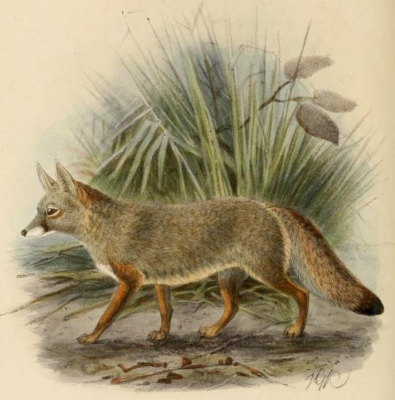 Bengalfuchs (John Gerrard Keulemans)