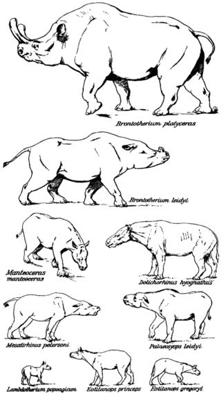 Entwicklung der Brontotherien (Henry Fairfield Osborn)