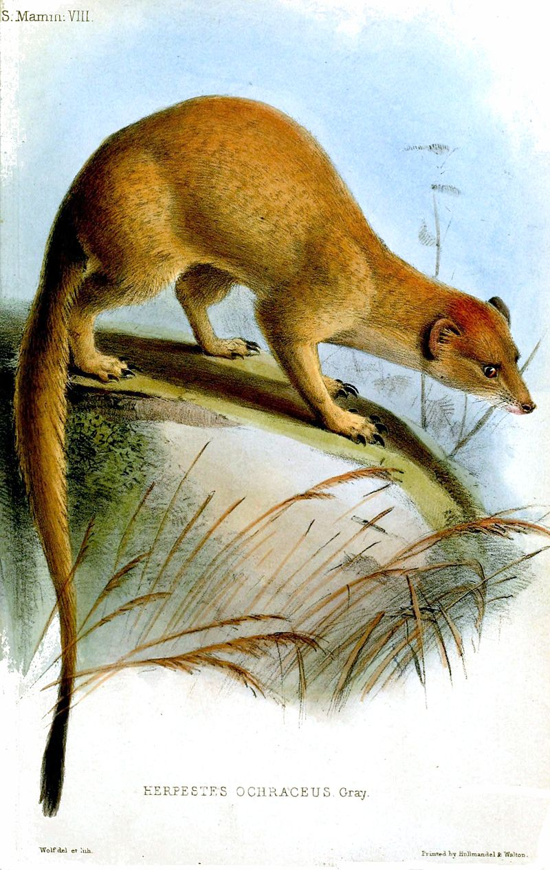 Somali-Manguste (Joseph Wolf)