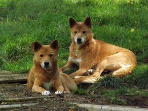 Dingo (Parc Merveilleux, Bettemburg)