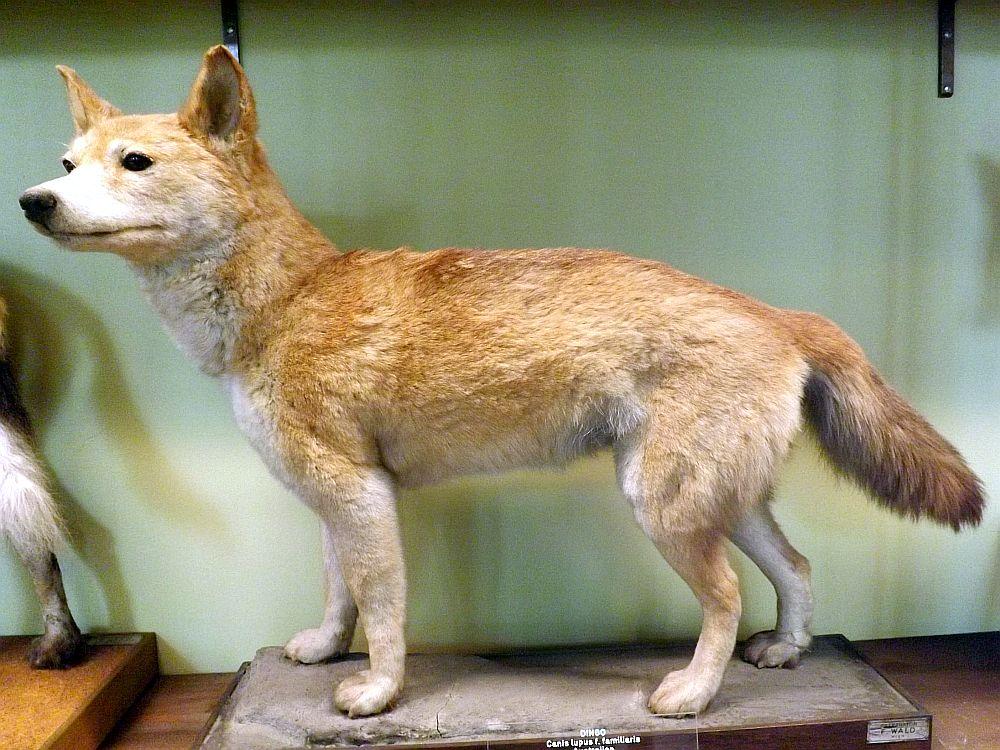 Dingo (Naturkundemuseum Wien)