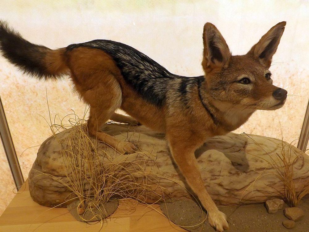 Schabrackenschakal (Naturkundemuseum Coburg)