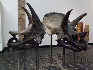 Triceratops (Naturkundemuseum Senckenberg)