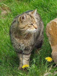 Wildkatze (Wildkatzendorf Hütscheroda)