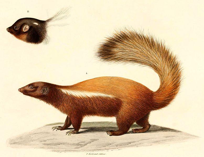 Patagonischer Skunk (Alcide Dessalines d'Orbigny)