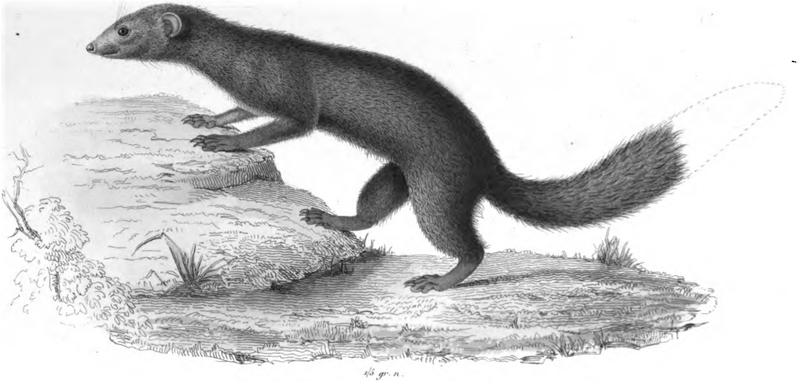 Schlichtmungo (I. Geoffroy Saint-Hilaire)