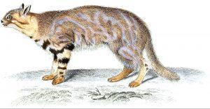 Leopardus pajeros (Jean-Gabriel Prêtre)