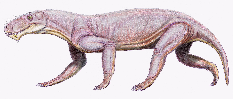 Lycaenops ornatus (Dmitry Bogdanov)