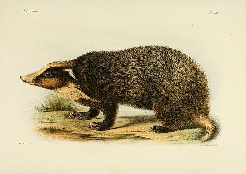 Schweinsdachs (Recherches pour servir à l'histoire naturelle des mammifères)