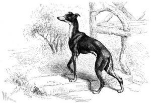 Italienischer Windhund (Brehms Tierleben)