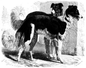 Wolfswindhund (Brehms Tierleben)