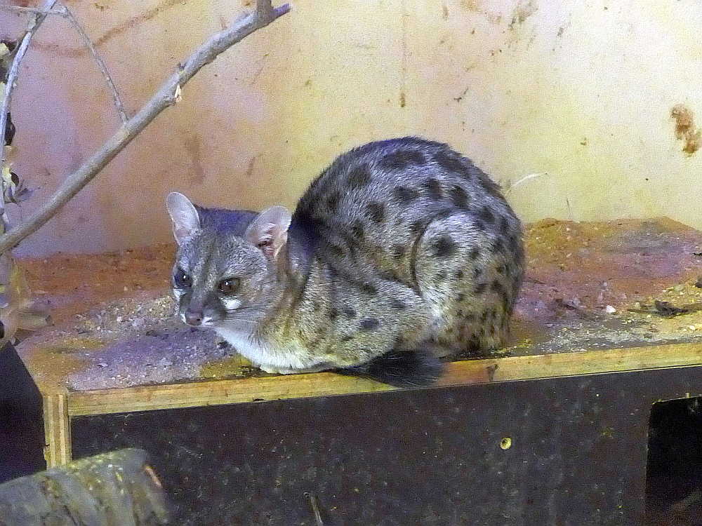 Haussa-Ginsterkatze (Zoo Plzen)