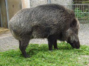 Wildschwein (Wilhelma Stuttgart)