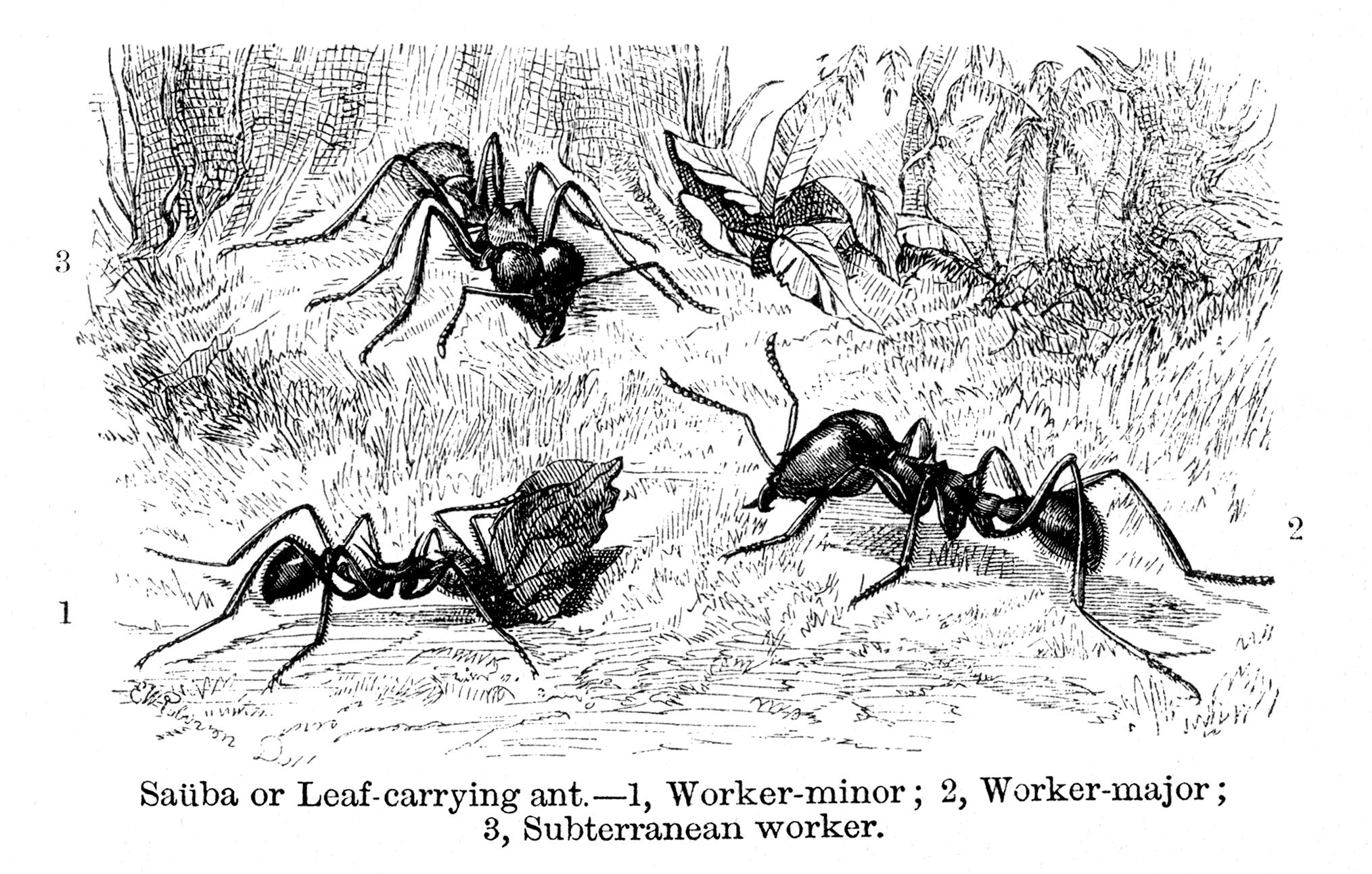 Blattschneiderameisen (E. W. Robinson)