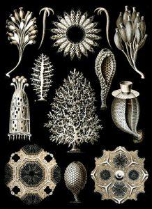 Kalkschwämme (Ernst Haeckel)