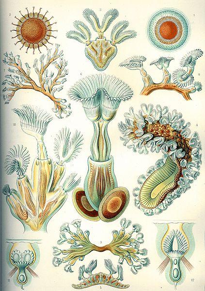 Moostierchen (Ernst Haeckel, Kunstformen der Natur)