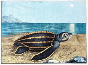 Seeschildkröte (Aloys Zötl)