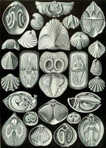 Spirobranchia (Ernst Haeckel, Kunstformen der Natur)