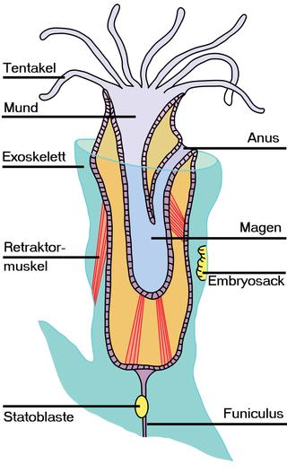 Anatomie eines Moostierchens