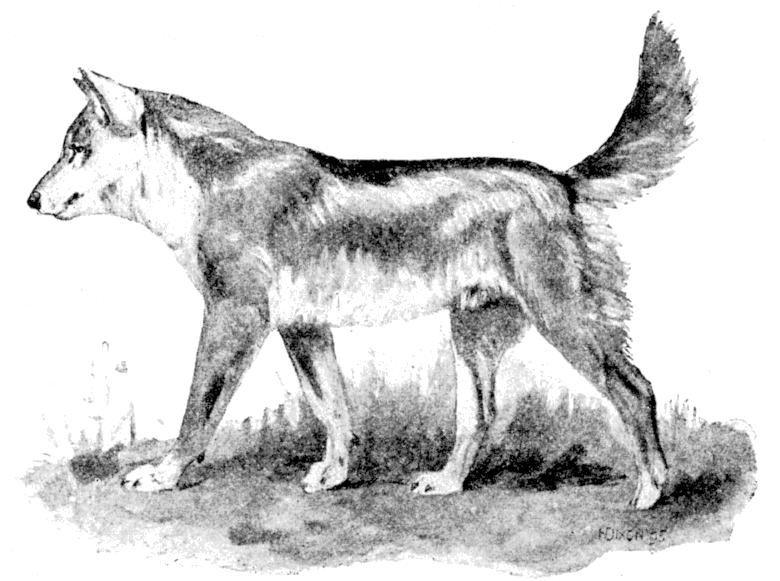 Dingo (The Cambridge Natural History, Volume X—Mammalia)