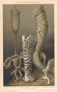 Glasschwämme nach Zeichnungen von Franz Eilhard Schulze (1840–1921)