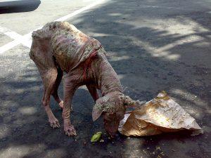 Räudiger Straßenhund auf Bali (Jack Merridew)