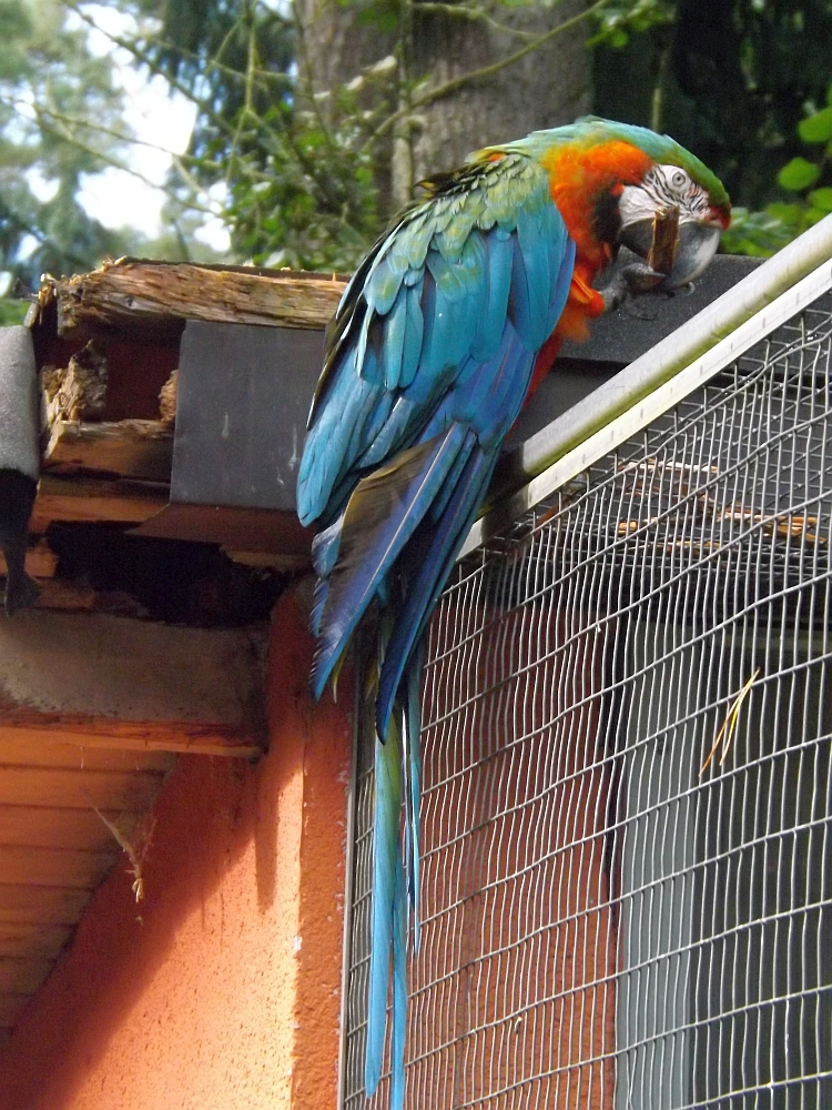 Arahybrid (Vogelpark Abensberg)