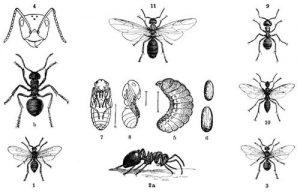 Rothe Waldameise (Formica rufa). 1 Männchen, 2 a und b stark vergrößerte Arbeiter, 3 Weibchen, 4 Kopf eines Arbeiters, 5 Larve, 6 Puppengehäuse, sogenanntes Ameisenei, 7, 8 Puppe (4-8 vergrößert). - Roßameise (Camponotus herculeanus). 9 Arbeiter, 10 Männchen, 11 Weibchen (Brehms Tierleben)