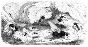 Visitenameise (Oecodoma cephalotes). a Männchen, b Weibchen, kleine und große Arbeiter (Brehms Tierleben)