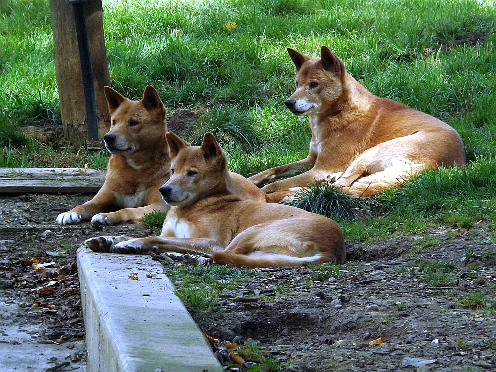 Dingo (Parc Merveilleux)
