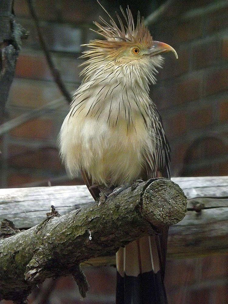 Guirakuckuck (Zoo Berlin)