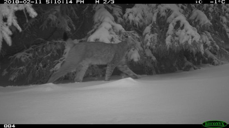 Eine Kamerafalle lieferte den Beweis: Der Luchs ist in den Thüringer Wald zurückgekehrt. (Dirk Hirsch)