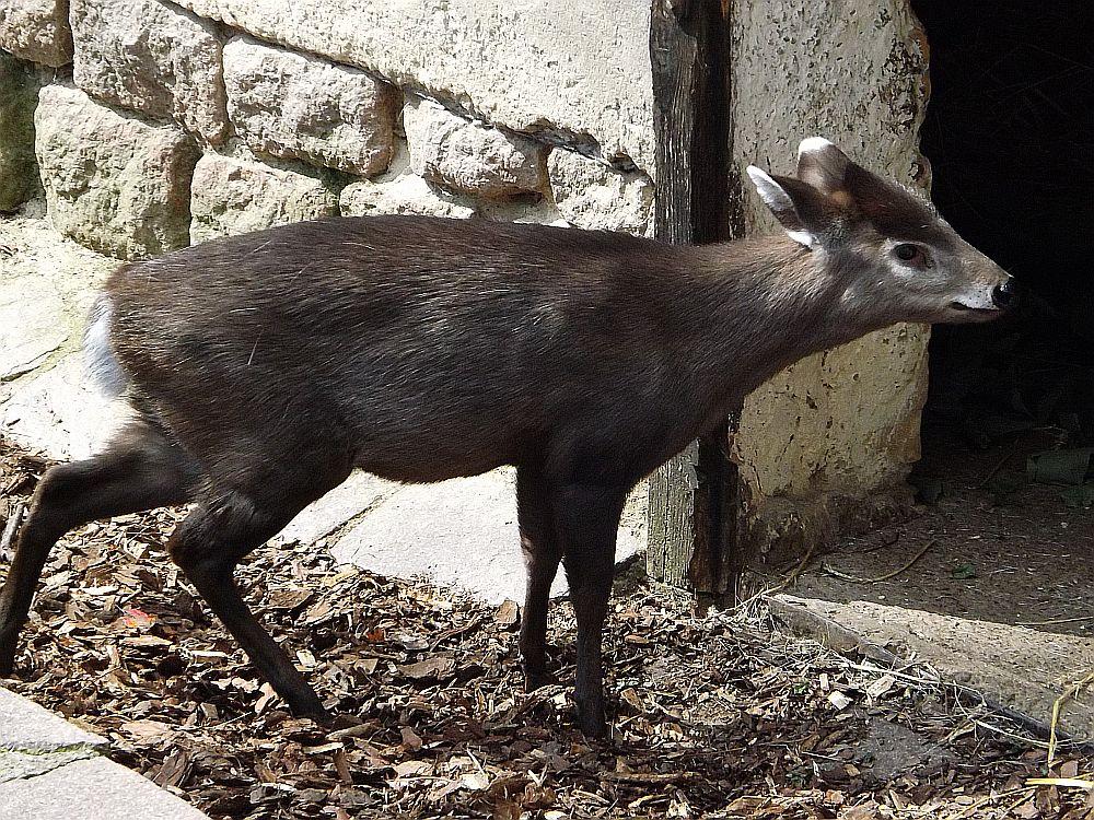 Ostchinesischer Schopfhirsch (Zoo Halle)
