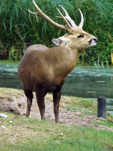 Schweinshirsch (Burgers Zoo Arnhem)