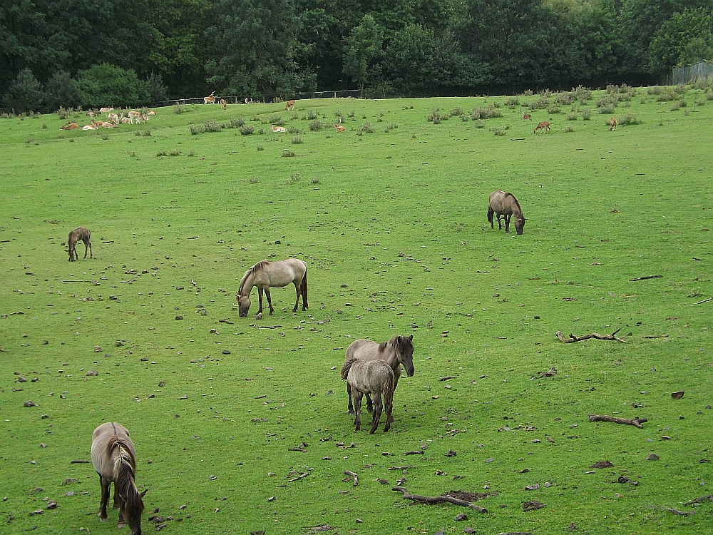 Heckpferde (Wildpark Knüll)