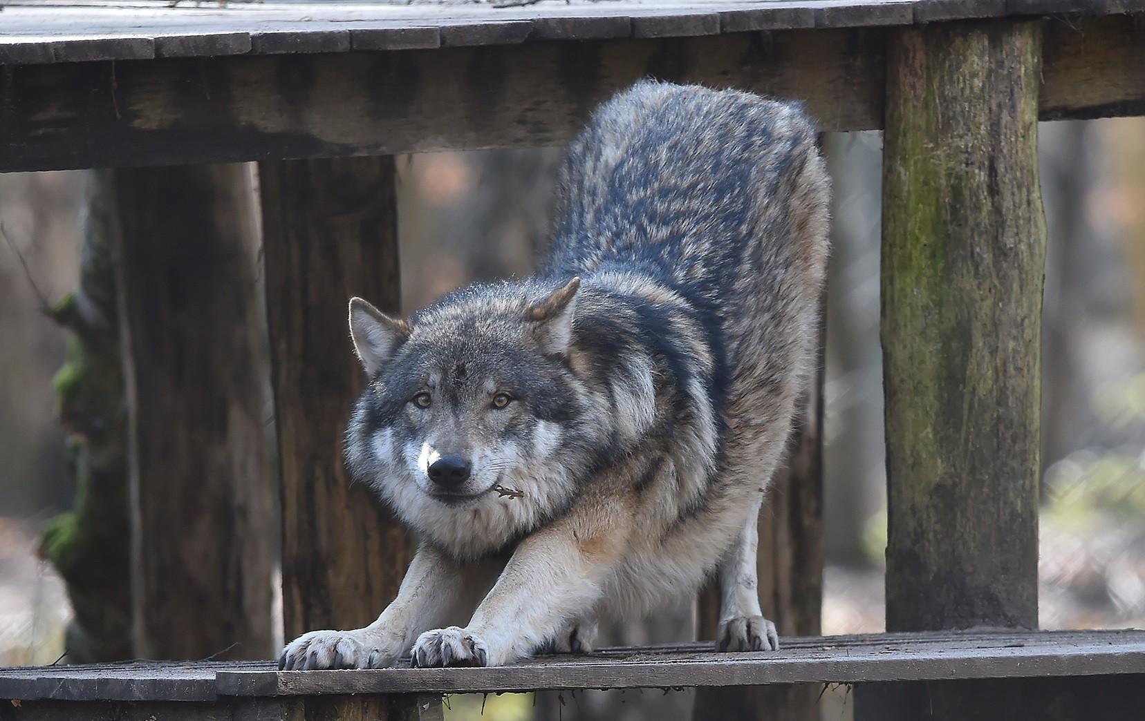Wolf (Wolfsschutz-Deutschland)