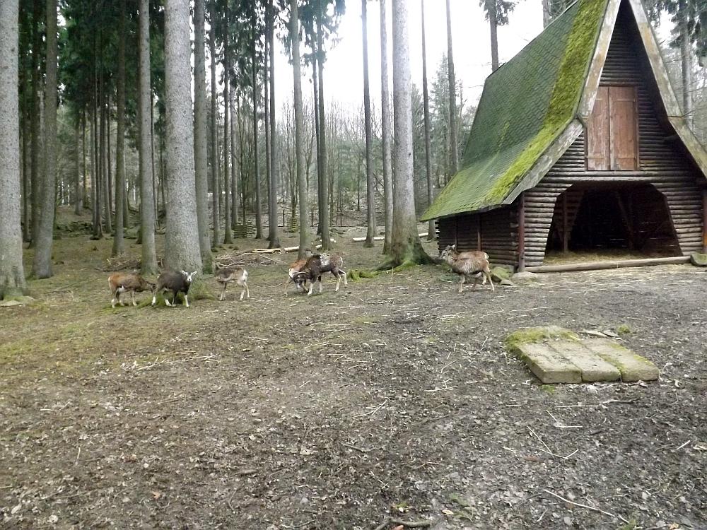 Mufflonanlage (Wildgehege Annaberg-Buchholz)