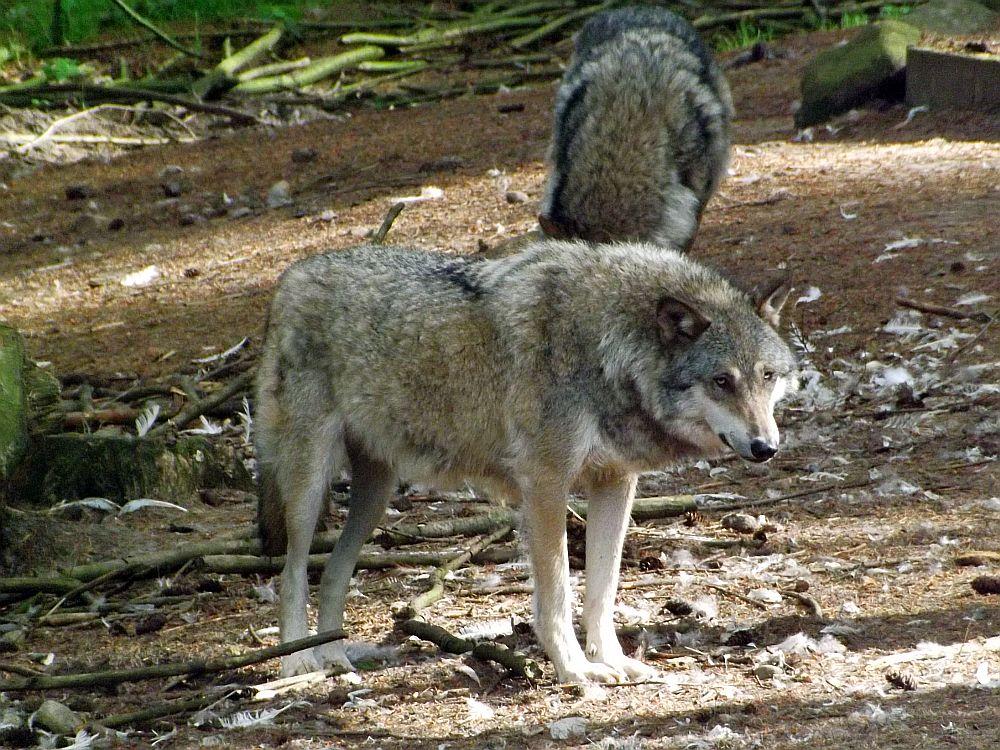 Wolf (Zoo in der Wingst)