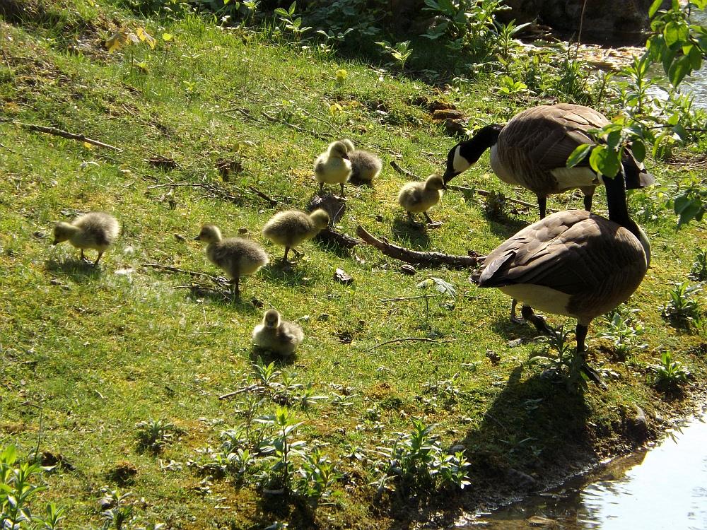 Kanadagans (Tierpark Hellabrunn)
