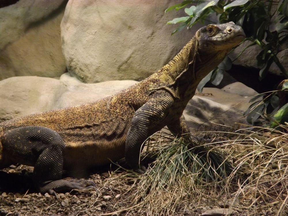 Komodowaran (Zoo Frankfurt)