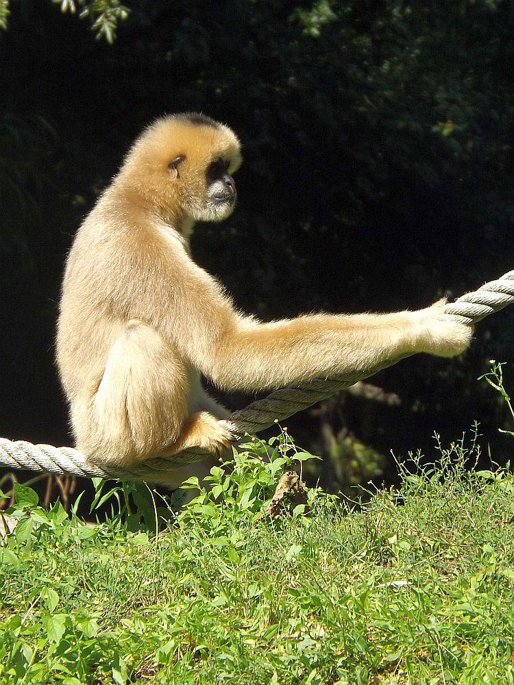 Nördlicher Weißwangengibbon (Zooparc Overloon)